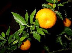 画像3: ビターオレンジ  10ml